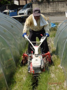 人参収穫準備1