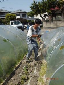 人参収穫準備2