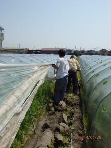 人参収穫準備3